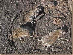 01仕留められた野ネズミ15-1-18