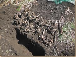 02種ヤーコンを埋める15-2-20