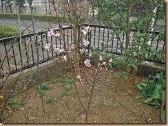 01桃の開花15-3-29