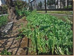 01#1畑に春菊を移植15-3-30