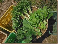 02葉野菜の収獲15-3-27