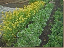 01ソラマメ、ノラボウ菜の開花15-4-10