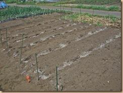 01種イモを配置し株間に施肥15-4-24