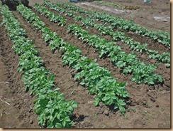 01施肥・土寄せ後のジャガイモ畑15-4-26