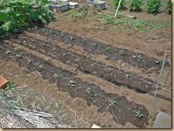 01ザル菊の苗を植付け15-4-28