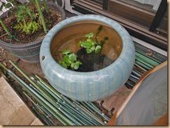 01火鉢の水槽に水草15-4-29