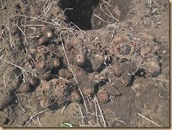02掘り上げた里芋土垂種15-4-17