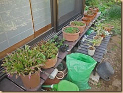 04室内保管花鉢を屋外に出す15-4-26