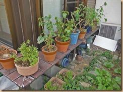 05室内保管花鉢を屋外に出す15-4-26