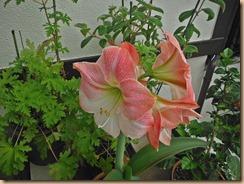 02アマリリスの開花15-5-20
