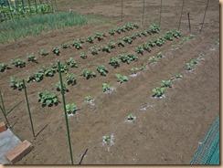 01サツマイモ畑の雑草整理15-5-31