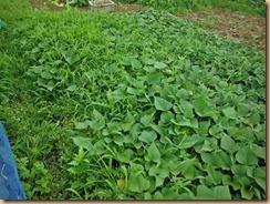 01雑草整理前のサツマイモ畑15-6-30