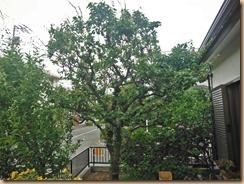 01収獲前の梅の樹15-6-5