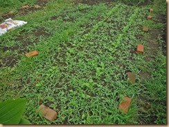 02雑草整理前のサラダごぼう畑15-6-27