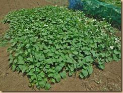 02雑草整理後のサツマイモ畑15-6-30