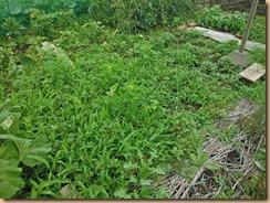 03雑草性前のザル菊畑15-6-22