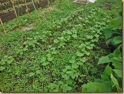 03雑草整理前のオクラ畑15-6-27