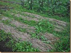 06ジョウガの15-6-18敷き藁押さえネットを除く