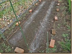 06発芽したサラダゴボウ15-6-8