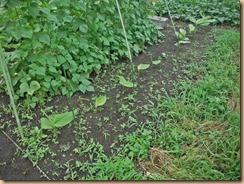05ウコン茎葉が伸びる15-7-4