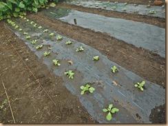 01白菜苗の植付け15-9-26