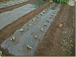 02ブロッコリー苗の植付け15-9-26