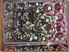 03紫キャベツの生育15-9-22