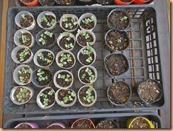 05芽キャベツの生育15-9-22