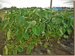 01収獲前のサトイモ畑15-10-5