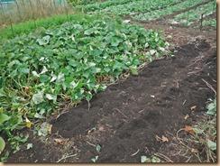 01紫イモを2畝収獲15-10-10