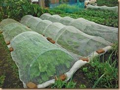 02白菜・キャベツに防虫ネット15-10-19
