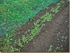03植替え前の水菜畑15-10-5