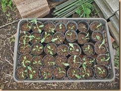 04ポットに植え替えた水菜15-10-5