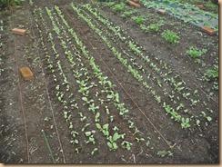 05チンゲン菜の植替え15-10-5