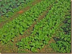 06チンゲン菜の生育15-10-22