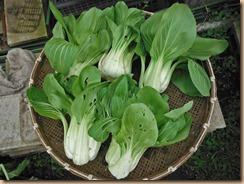 04チンゲン菜の収獲15-11-22