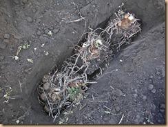 01里芋土垂種を溝に埋込15-12-29