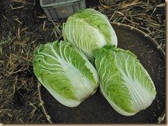 03白菜3ケの収獲15-12-21