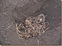 04穴に埋めた八頭の種22ケ15-12-21