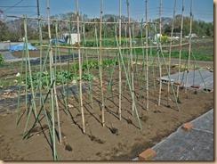 01支柱を立て種芋を配置16-3-25