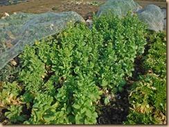 02チンゲン菜は花咲く16-2-28