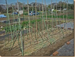 02種芋を埋め稲藁でマルチ16-3-25