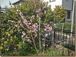 01桃の花が開花16-3-31