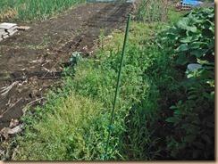 01雑草整理前のインゲン東側用地16-4-25