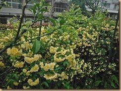 02モッコウバラの開花16-4-24