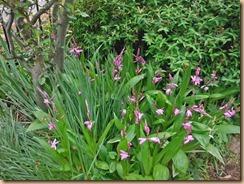 05紫ランの開花16-4-24
