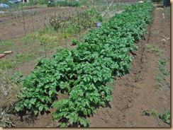 01ジャガイモ追肥土寄せ16-5-15