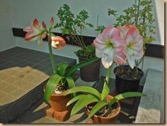 01アマリリスの開花16-5-21