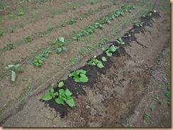 01紫イモ苗の追植え16-5-26