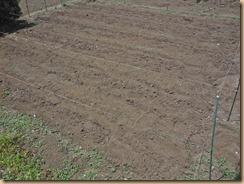 02サトイモ追肥土寄せ16-5-15